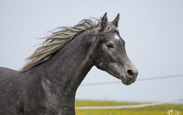 Фото обои серый, конь, лошадь, грива, (с) OliverSeitz
