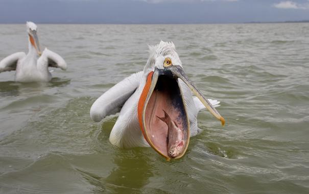 Фото обои море, рыба, пеликан