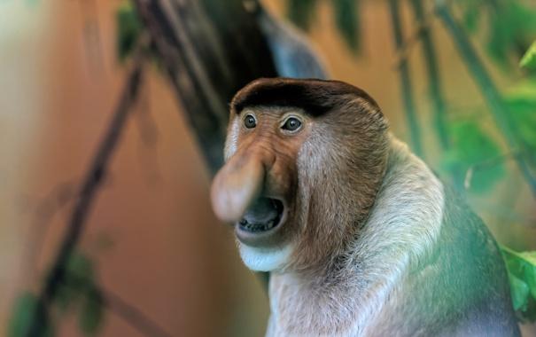 Фото обои Netherlands, Monkey, Apenheul Primate Park
