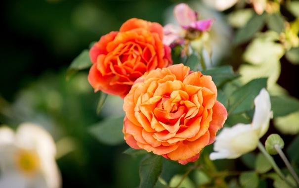 Фото обои макро, розы, бутоны, боке