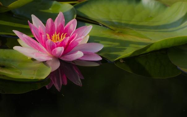 Фото обои цветок, листья, лепестки, лотос, цветение