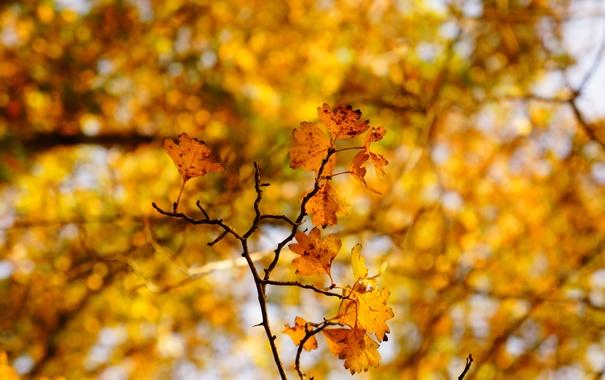 Фото обои листья, дерево, ветка, дуб, осенние
