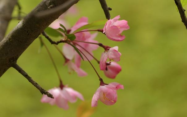Фото обои зелень, листья, цветы, природа, вишня, зеленый, веточка