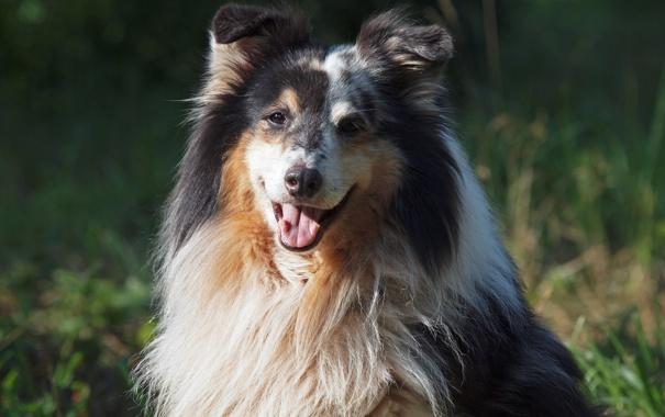 Фото обои взгляд, морда, собака, пёс, шелти