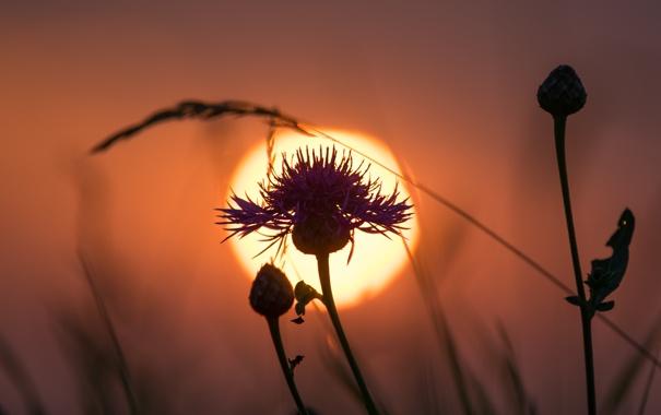 Фото обои цветок, небо, солнце, закат, растение, силуэт, сорняк