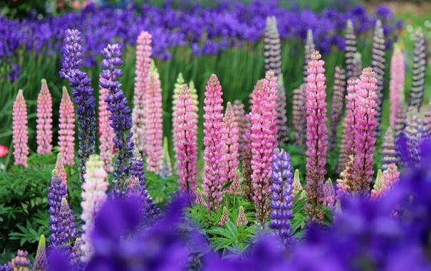 Фото обои цветы, природа, розовые, синие, Люпины