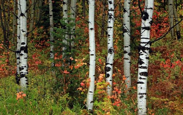 Фото обои осень, лес, листья, деревья, ель, роща, осина