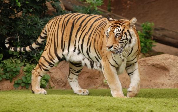 Фото обои тигр, полосы, хищник, шкура, хвост