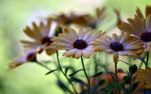 Фото обои капли, цветы, лепестки, боке