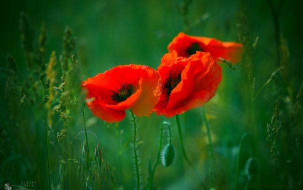 Фото обои зелень, трава, маки, Ildiko Neer, красные. три