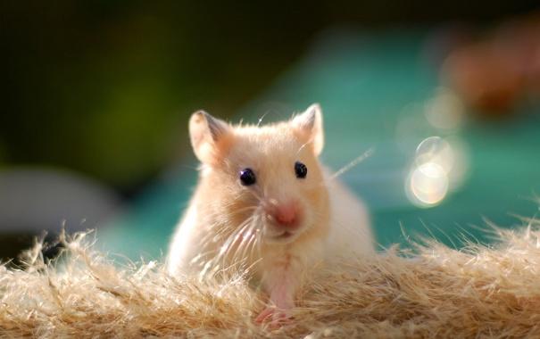 Фото обои хомяк, wallpaper, golden, грызун, cute, hamster