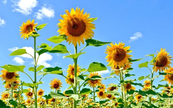 Фото обои поле, небо, листья, облака, цветы, подсолнух, лепестки