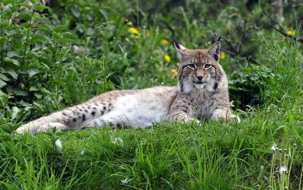 Фото обои кошка, трава, отдых, рысь