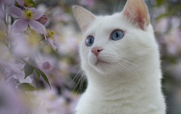 Фото обои белый, глаза, кот, цветы, природа, растения, голубые