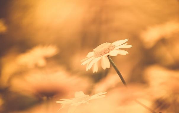 Фото обои цветок, природа, ромашка