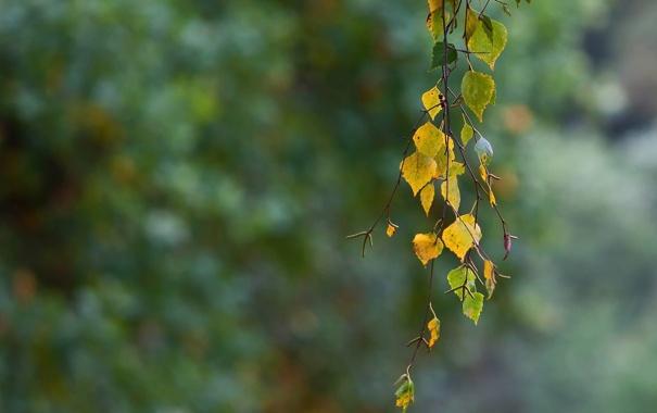 Фото обои осень, листья, берёза, ветвь
