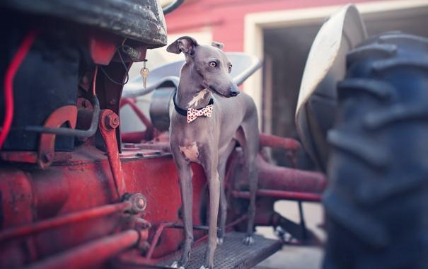 Фото обои взгляд, друг, собака, Italian Greyhound