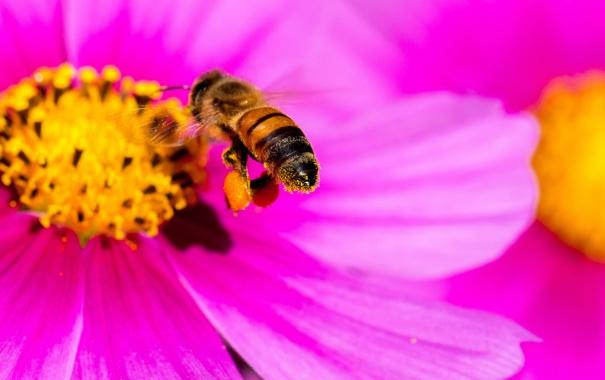 Фото обои цветок, пчела, насекомое, лепестки