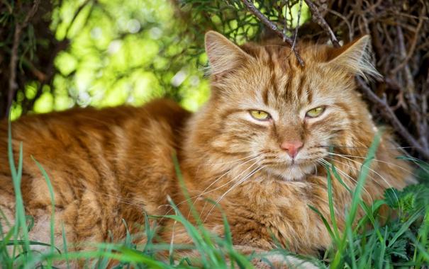 Фото обои кот, трава, ©Tambako The Jaguar, взгляд, кошка