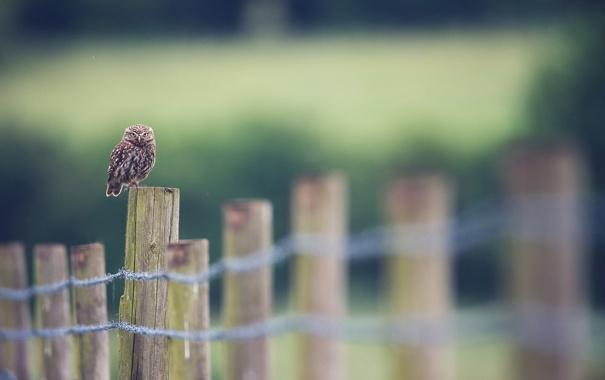 Фото обои природа, сова, птица, забор