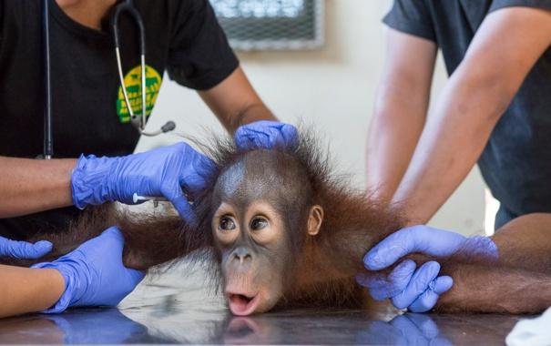 Фото обои monkey, fear, fright, latex gloves, veterinarians