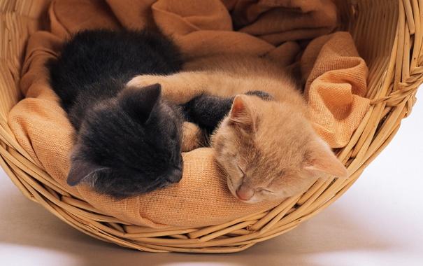 Фото обои кошки, корзина, котята