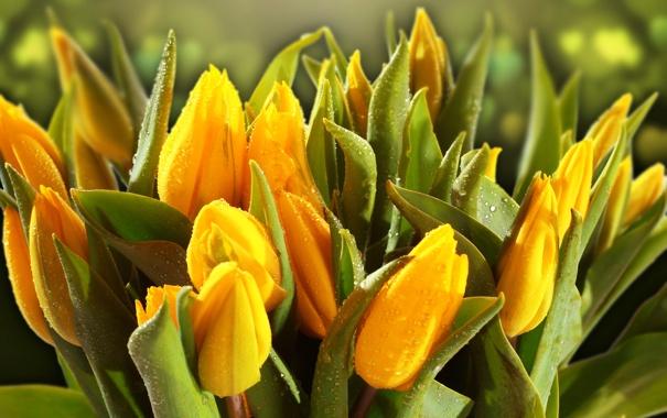 Фото обои листья, капли, роса, желтые, тюльпаны, бутоны, боке