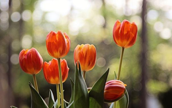 Фото обои цветы, лепестки, тюльпаны, боке