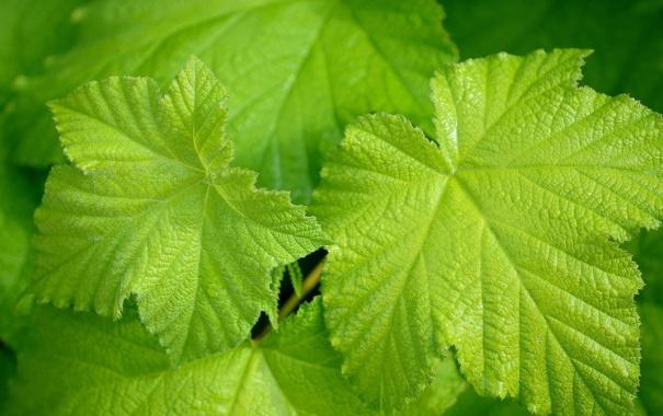 Фото обои листья, лист, виноград, зелёные