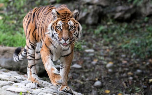 Фото обои взгляд, тигр, хищник, дикая кошка