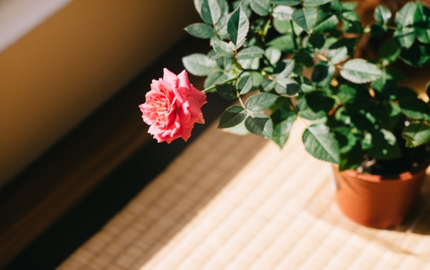 Фото обои цветок, листья, роза, лепестки, горшок