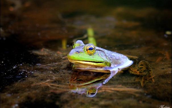 Фото обои вода, озеро, болото, лягушка, зеленая