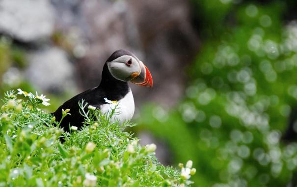 Фото обои цветы, птицы, блики, боке, розмытости, Атлантический тупик, Fratercula arctica