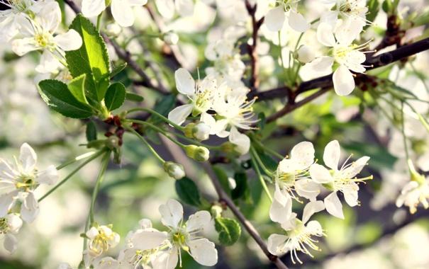 Фото обои вишня, весна, цветки