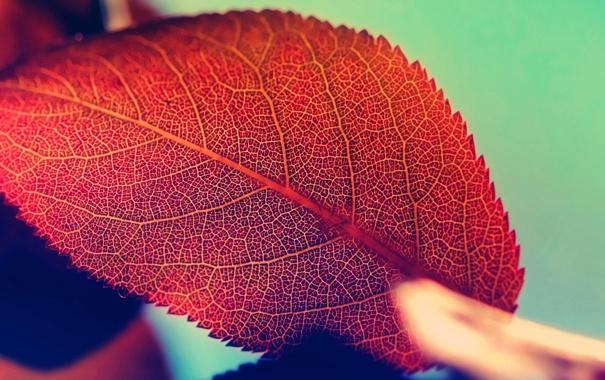 Фото обои осень, природа, лист, красота, nature, autumn, macro