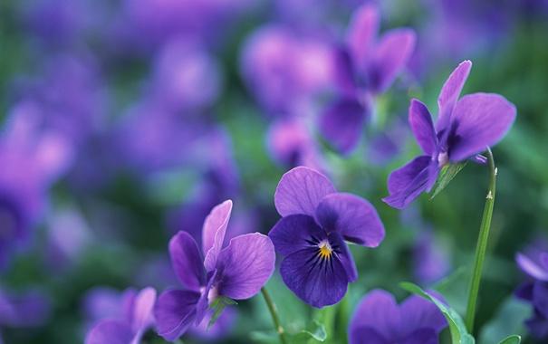 Фото обои макро, цветы, лепестки, фиолетовые, луто