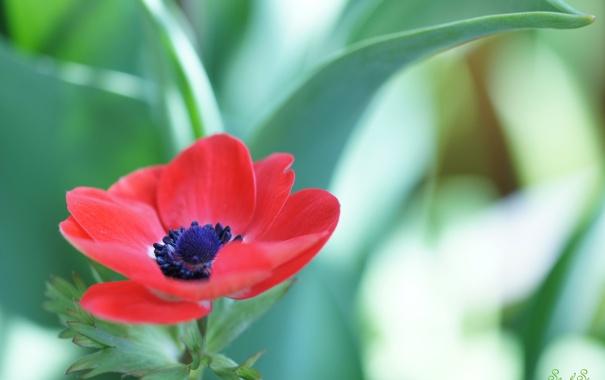 Фото обои листья, цветок, анемонпа, фон, чемоданы, красный
