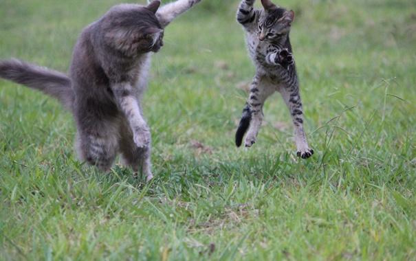 Фото обои кошка, котенок, игра, серые, семейство