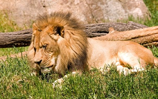 Фото обои кошка, трава, солнце, отдых, сон, лев