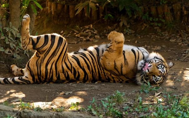Фото обои язык, кошка, трава, тигр, отдых, суматранский