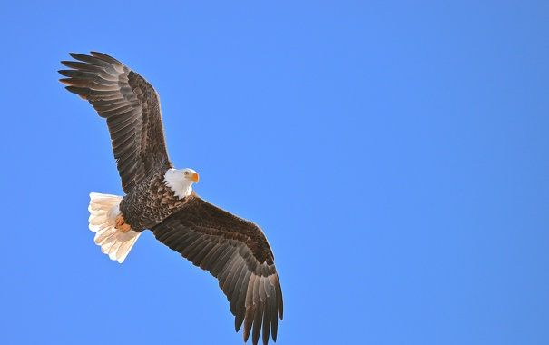 Фото обои белый, небо, глаз, птица, орел, крылья, хищник