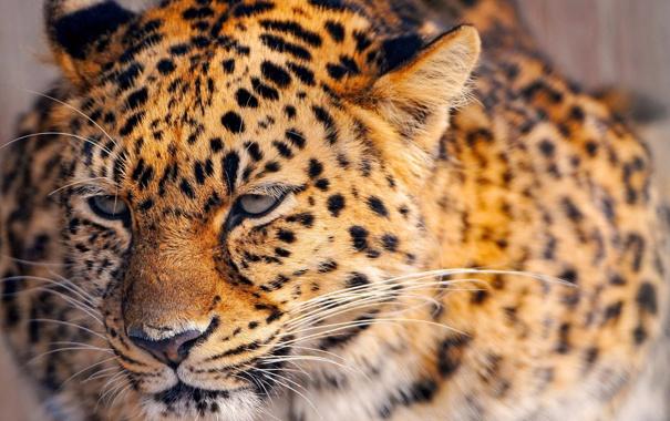 Фото обои животное, леопард, красивое, пятнистое, рыжее