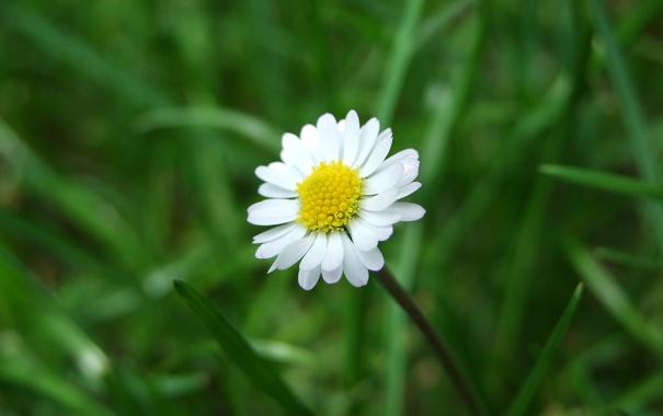 Фото обои макро, цветы, природа, фото, ромашки, ромашка