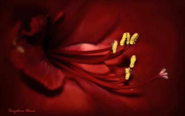 Фото обои макро, цветы, красное