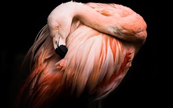 Фото обои фон, птица, черный, фламинго