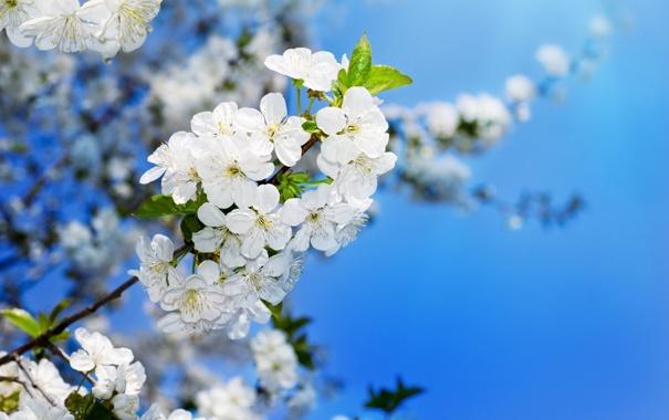 Фото обои макро, ветки, цветочки, яблоня