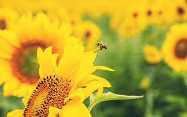 Фото обои зелень, цветок, цветы, природа, пчела, подсолнух, желтые