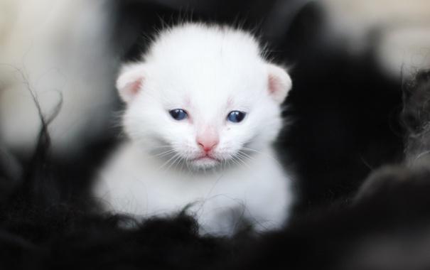 Фото обои белый, котенок, глазки, малыш, мордочка