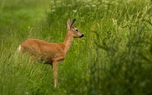 Фото обои трава, олень, олененок
