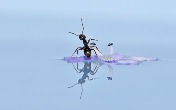 Фото обои цветок, вода, макро, отражение, муравей